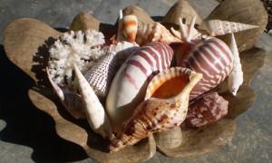 vanuatu shells